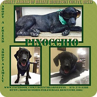 Labrador Retriever Mix Puppy for adoption in Hearne, Texas - Pinocchio
