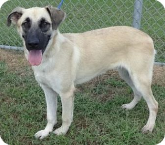 Shepherd (Unknown Type) Mix Dog for adoption in Olive Branch, Mississippi - Remmy