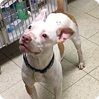 Terrier (Unknown Type, Medium)/American Pit Bull Terrier Mix Dog for adoption in Fulton, Missouri - Horus- Ohio