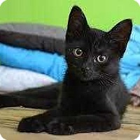 Domestic Shorthair Kitten for adoption in Mustang, Oklahoma - Anubis