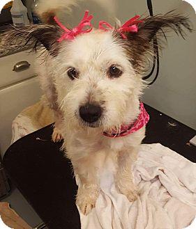 Terrier (Unknown Type, Medium) Mix Dog for adoption in St. Charles, Missouri - Darcie