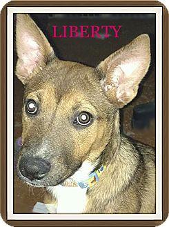German Shepherd Dog/Australian Cattle Dog Mix Puppy for adoption in Tempe, Arizona - Liberty