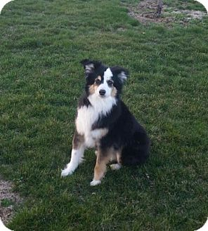 Australian Shepherd Dog for adoption in Holly Springs, North Carolina - Joey