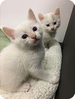 Domestic Shorthair Kitten for adoption in Marina del Rey, California - Tulip