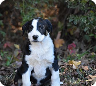 Shepherd (Unknown Type) Mix Puppy for adoption in Groton, Massachusetts - Rio