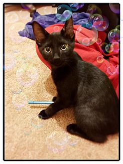 Domestic Shorthair Kitten for adoption in Philadelphia, Pennsylvania - Marie
