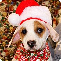 Adopt A Pet :: Tinsel - Glastonbury, CT