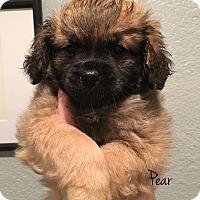 Adopt A Pet :: Pear - San Diego, CA