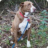 Adopt A Pet :: Duke - Flower Mound, TX