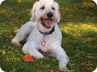 Poodle (Standard)/Golden Retriever Mix Dog for adoption in Toronto/Etobicoke/GTA, Ontario - Huxtable