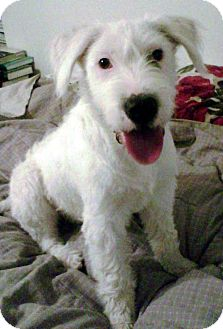 Cassie | Adopted Dog | Nuevo, CA | Airedale Terrier/Poodle ...