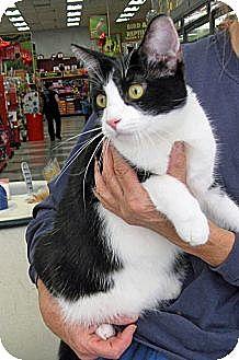Domestic Shorthair Cat for adoption in San Pedro, California - Clark