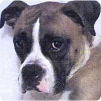 Adopt A Pet :: Chaos - Sunderland, MA