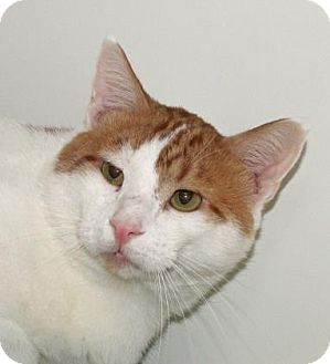 Domestic Shorthair Cat for adoption in Woodstock, Illinois - Charles