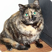 Domestic Shorthair Cat for adoption in Youngsville, North Carolina - Peanut