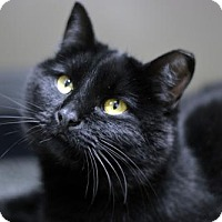Domestic Shorthair Cat for adoption in Versailles, Kentucky - Holly