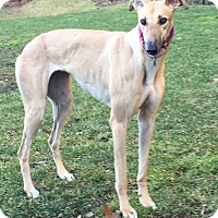 Adopt A Pet :: Willow - Swanzey, NH