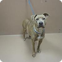 Adopt A Pet :: IVY - Reno, NV