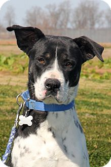 American Staffordshire Terrier Mix Dog for adoption in Natchitoches, Louisiana - Mary