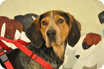 Bluetick Coonhound Dog for adoption in Erwin, Tennessee - Bodey