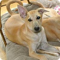 Adopt A Pet :: Honey - Surrey, BC