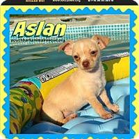 Chihuahua Mix Puppy for adoption in Pensacola, Florida - Aslan