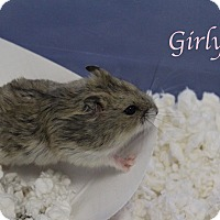 Adopt A Pet :: Girly - Bradenton, FL