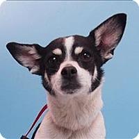 Adopt A Pet :: Admiral - Portland, OR