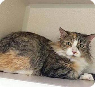 Calico Cat for adoption in Hudson, New York - Cassey