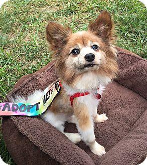 Papillon/Pomeranian Mix Dog for adoption in Kansas City, Missouri - Gizmo