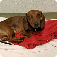 Adopt A Pet :: Shane - Decatur, GA