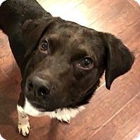 Adopt A Pet :: Harold - Austin, TX