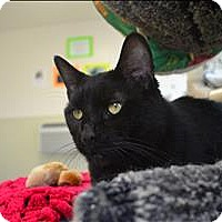 Domestic Shorthair Cat for adoption in Delaware, Ohio - Wheezie