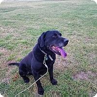 Adopt A Pet :: Dozer #2 - Falls Church, VA
