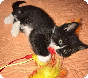 Domestic Shorthair Kitten for adoption in Orlando, Florida - Penelope