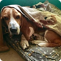 Basset Hound Dog for adoption in Houston, Texas - Baxter
