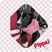 Adopt A Pet :: Pippa - Covington, TN