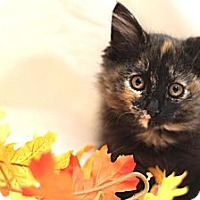 Adopt A Pet :: Juliet - Sacramento, CA