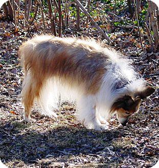 Sheltie, Shetland Sheepdog Dog for adoption in Mission, Kansas - Lindy