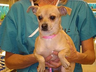 Chihuahua Dog for adoption in Tonopah, Arizona - dixie
