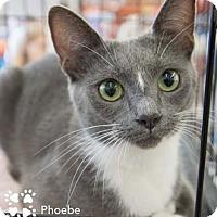 Adopt A Pet :: Phoebe - Merrifield, VA