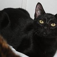 Domestic Shorthair Cat for adoption in Sebastian, Florida - Pixie