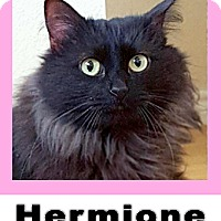 Domestic Longhair Cat for adoption in Plano, Texas - Hermione