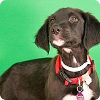 Adopt A Pet :: Cooper - Berkeley Heights, NJ