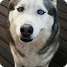 Adopt A Pet :: Koda - Adoption Pending - Congrats Alemany Family!