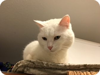 Domestic Shorthair Cat for adoption in Diamond Springs, California - Tinkerbell