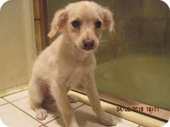 Chihuahua Mix Puppy for adoption in La Mesa, California - SIMON