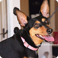 Manchester Terrier Mix Dog for adoption in Garland, Texas - Kisses