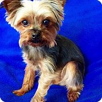 Adopt A Pet :: Taz - Encino, CA