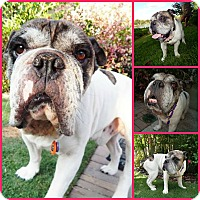 English Bulldog Dog for adoption in Inverness, Florida - Byron